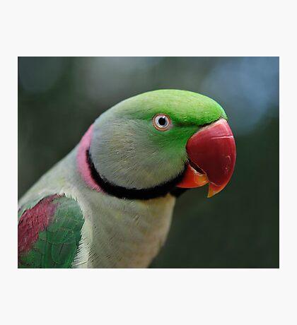 Alexandrine Parrot Photographic Print