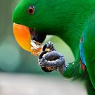 Have a bite - Eclectus parrot by Jenny Dean