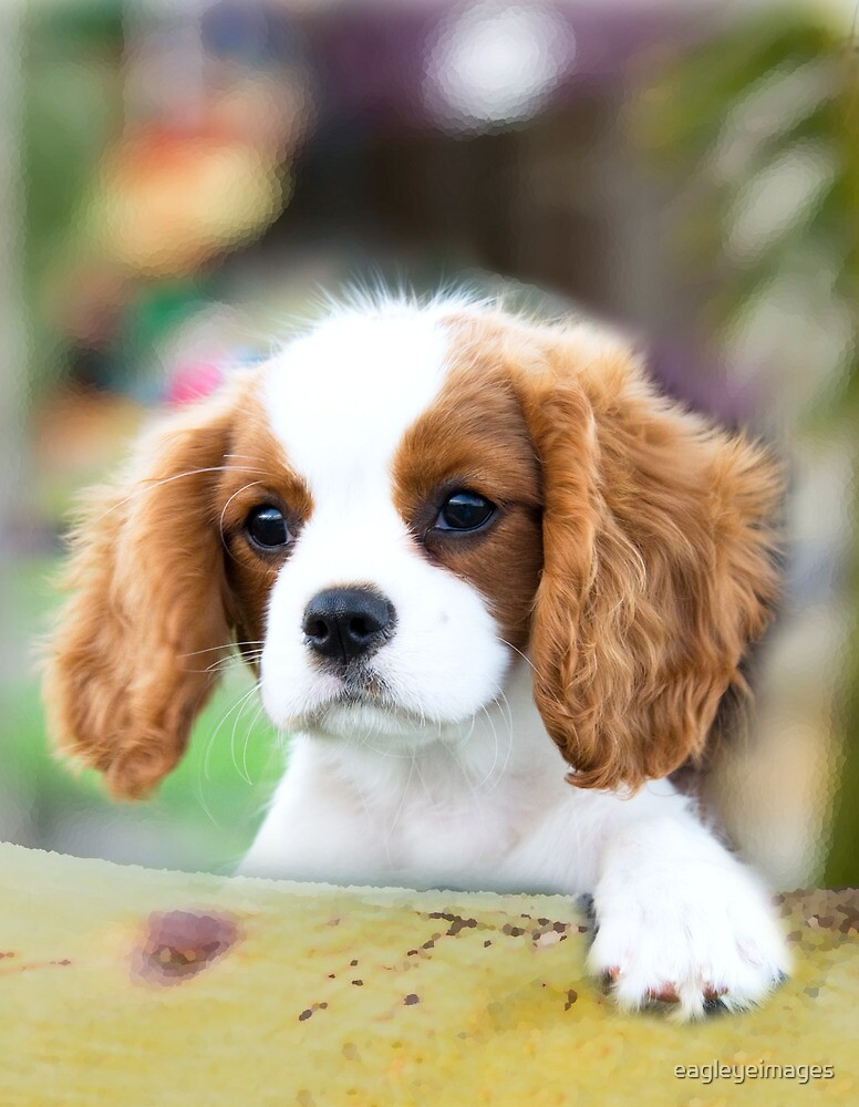 Quot Cavalier King Charles Spaniel Puppy Quot By Eagleyeimages