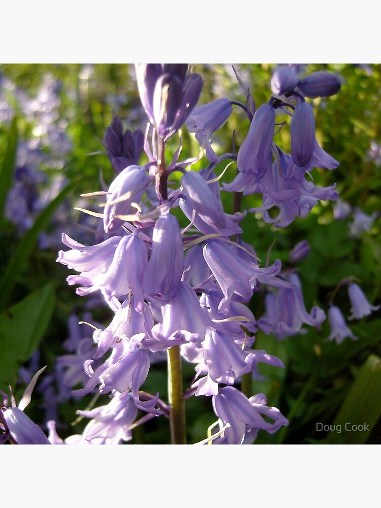 Bluebells by DougCook