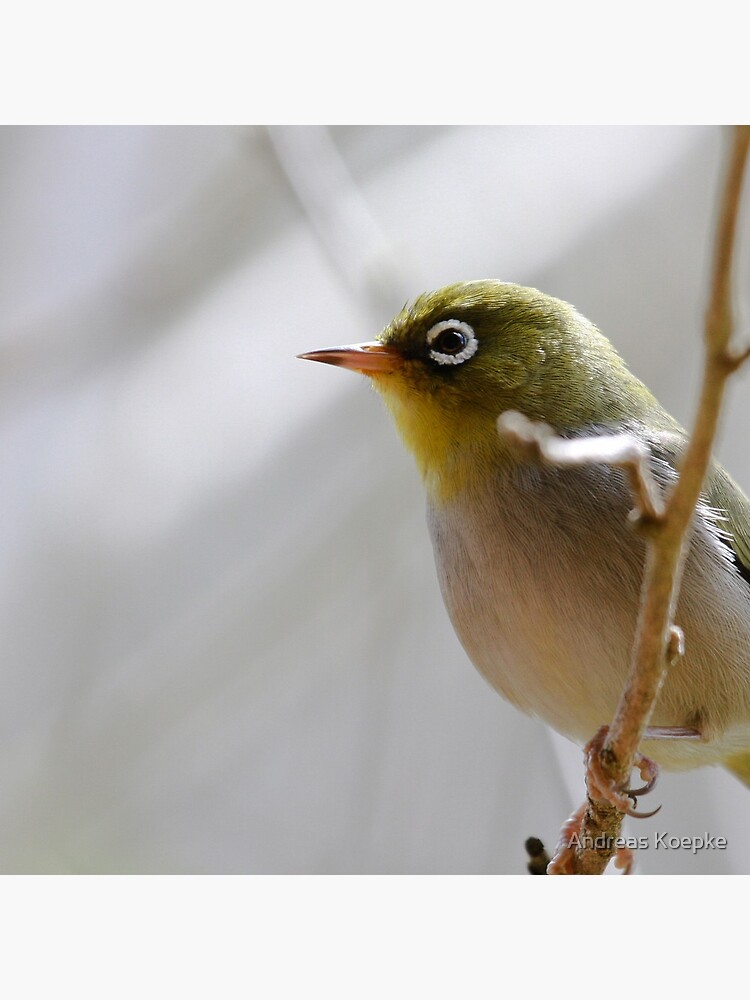 Silvereye by mistered