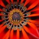 Gazinia Fire by Lozzar Flowers & Art