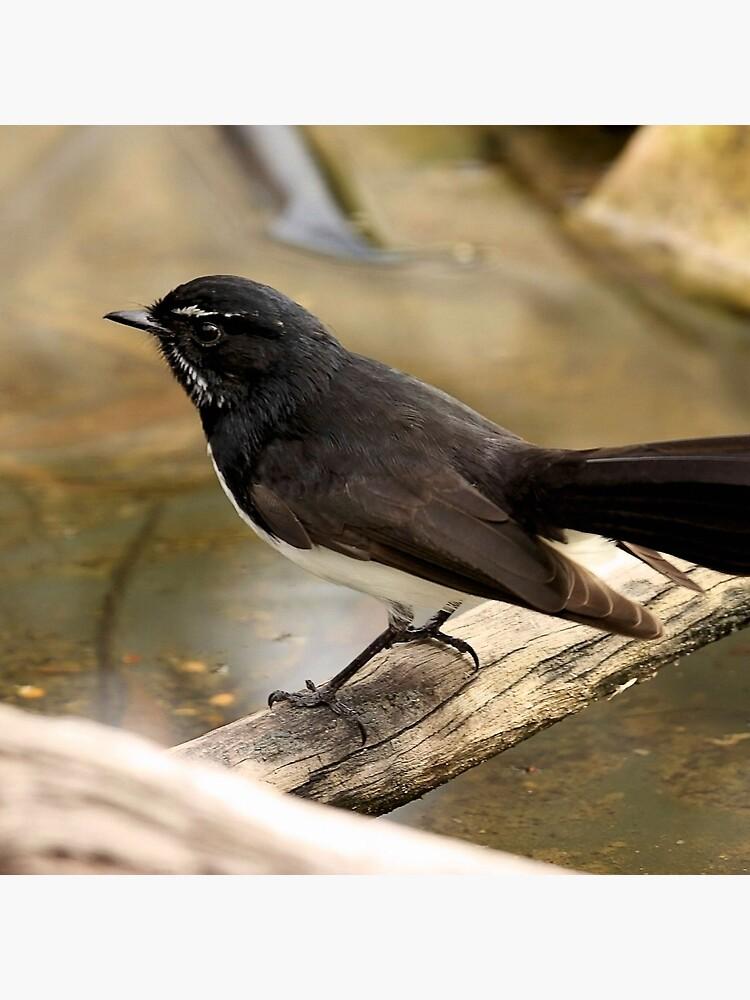 Willy Wagtail von burnettbirder