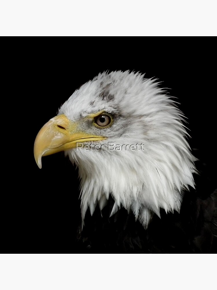 Eagle Portrait by hartrockets