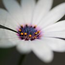 Purple African Daisy by Starsania