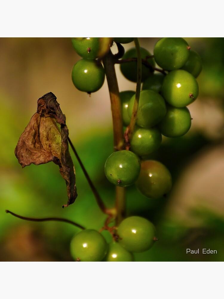 Convolvulous Berries by pauleden