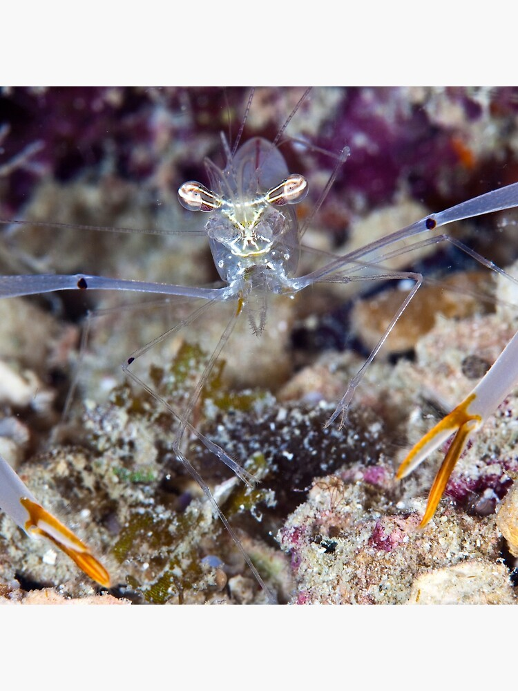 The long arm of the shrimp by DavidWachenfeld