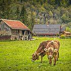 Schweizer Kühe von Viv Thompson