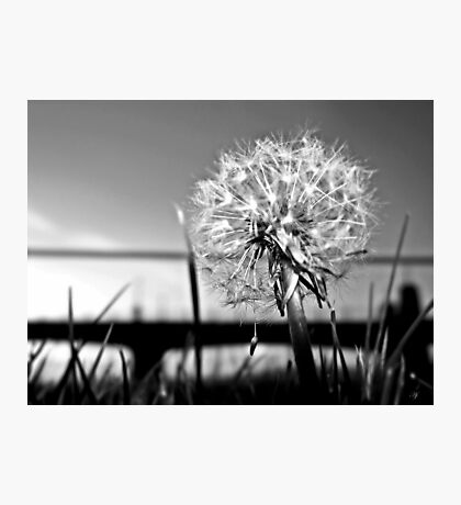 A Dandelion At Sundown In Black And White. Photographic Print