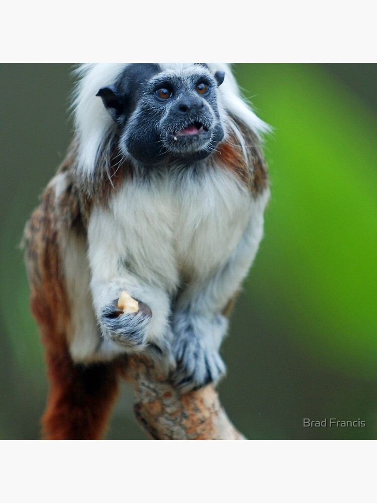 Cotton Top Tamarin by bfra