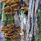 Bracket Fungi by rkoop