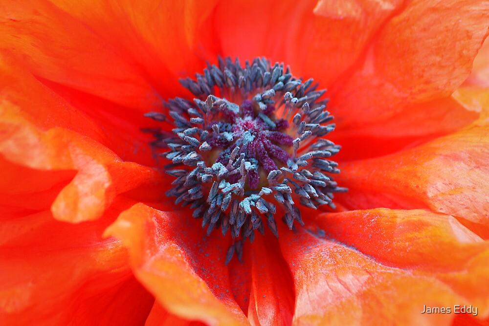 Oriental Poppy by James Eddy