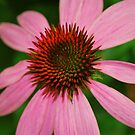 Pink by Tracey Hampton
