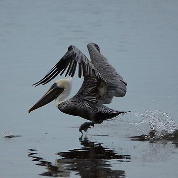 Pelican Takeoff by DoveyS