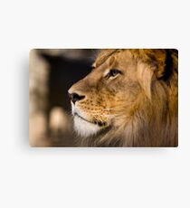 Lion - Adelaide Zoo Canvas Print