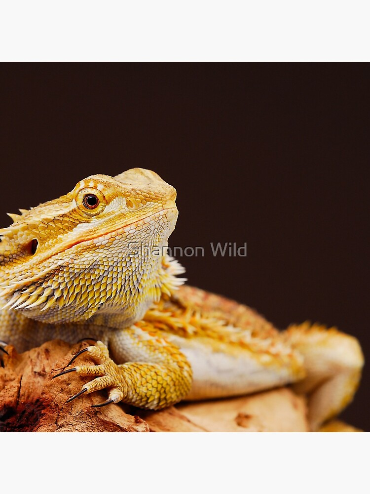 Central Bearded Dragon (Pogona vitticeps) by ShannonPlummer