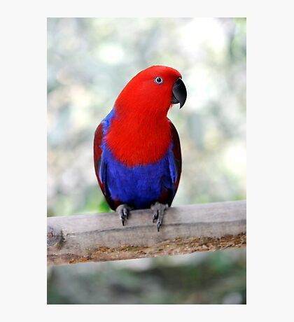 Sitting Pretty - Eclectus parrot Photographic Print