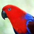 Simply Red - Eclectus parrot by Jenny Dean