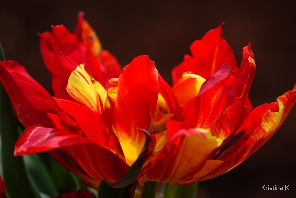 Flamin Tulip by Kristina K