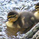 mallard ducklings - ready to take a dip by monkeyferret