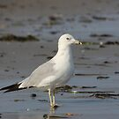 Gansett Gull von autumnseasphoto