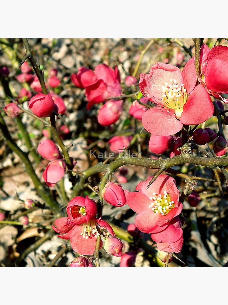Quince Flowers and Thorns by yimusjane