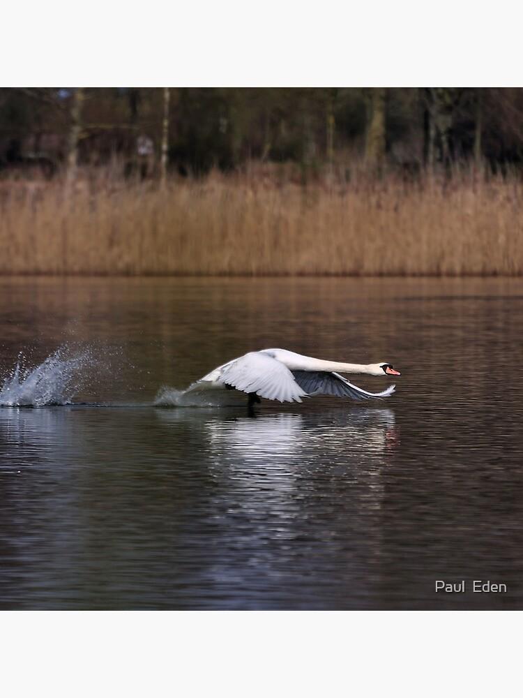 Swan Take-off by pauleden