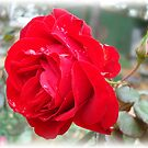 Red Rose ....Red Rose.... by Kathy Bucari