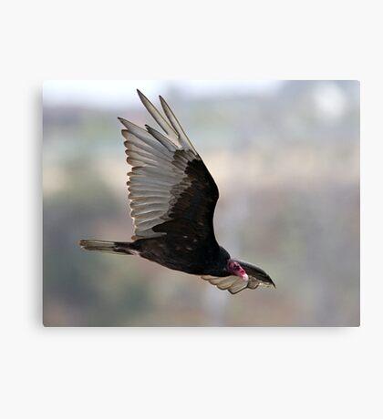 Turkey Vulture In flight Canvas Print
