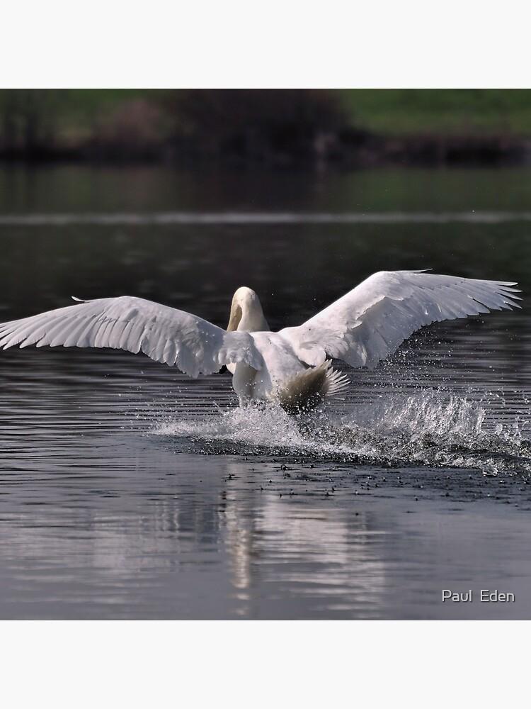 Swan: Landing by pauleden