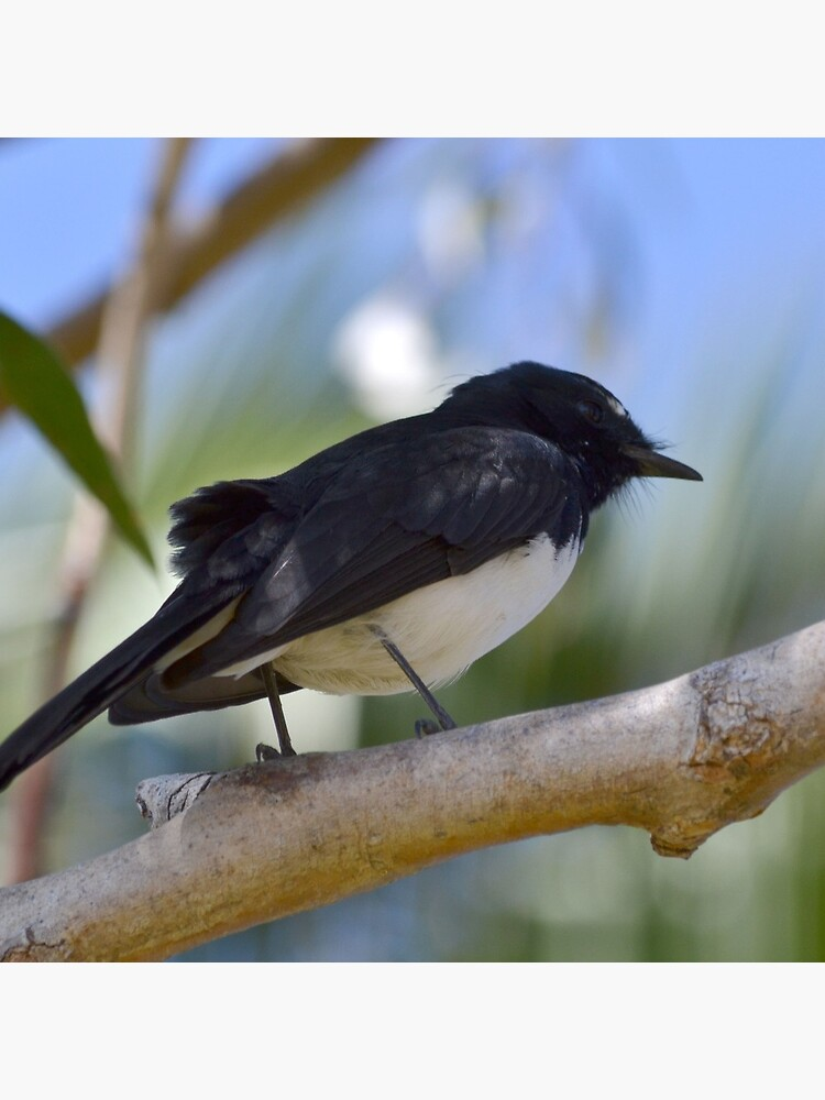 Wee Willy Wagtail von dclearwa