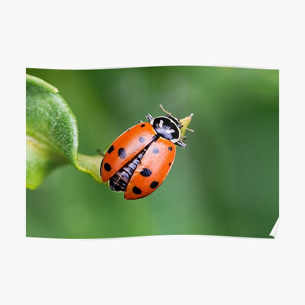 Ladybug, Ladybug Fly Away Home Poster