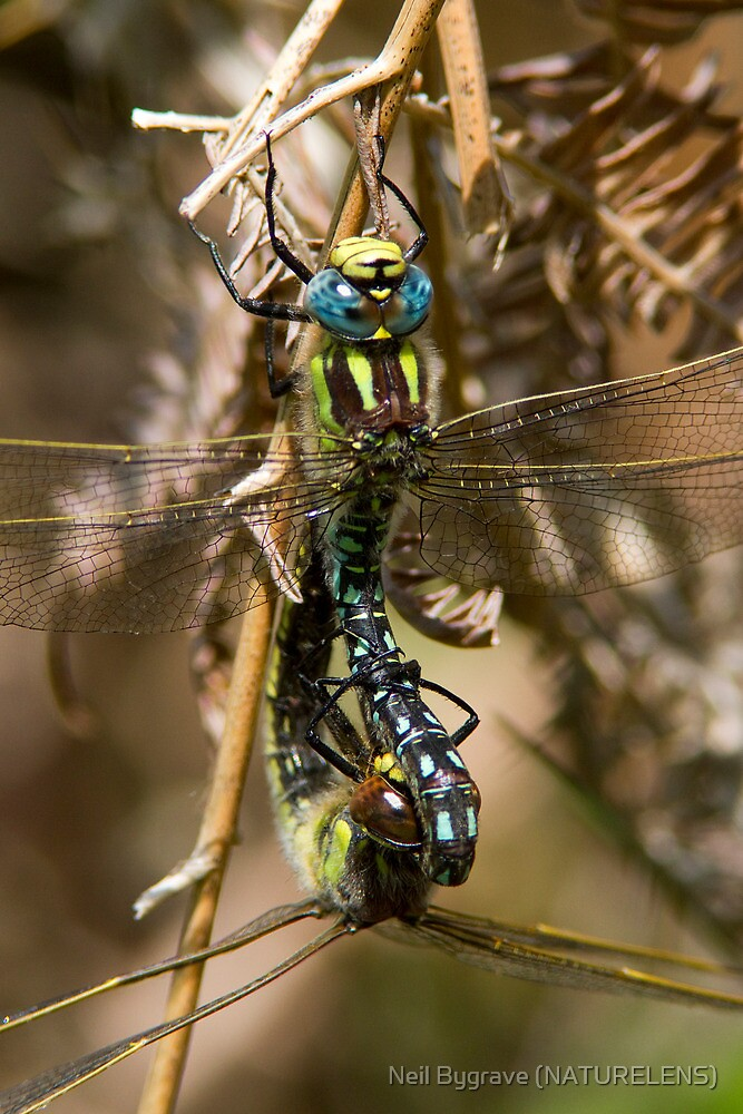 Mating Hairy Dragonflies by Neil Bygrave (NATURELENS)