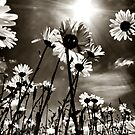 sundrenched daisies ..... by SNAPPYDAVE