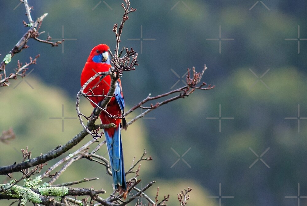 Crimson Rosella by Deborah McGrath