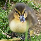 spring baby - Mallard Duckling by monkeyferret