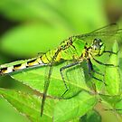 Dragonfly taking a rest by Ronee van Deemter