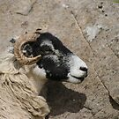 Sheep in profile by Gillen