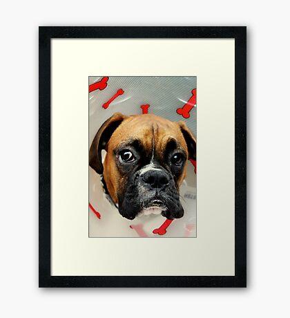 Nicht glücklich - Boxer Dog Series Gerahmter Kunstdruck