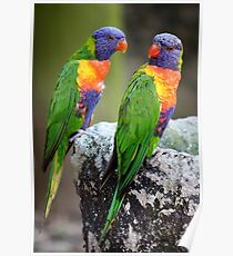 Lory Birds Poster