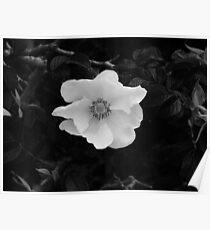 Black & White Beach Rose Poster