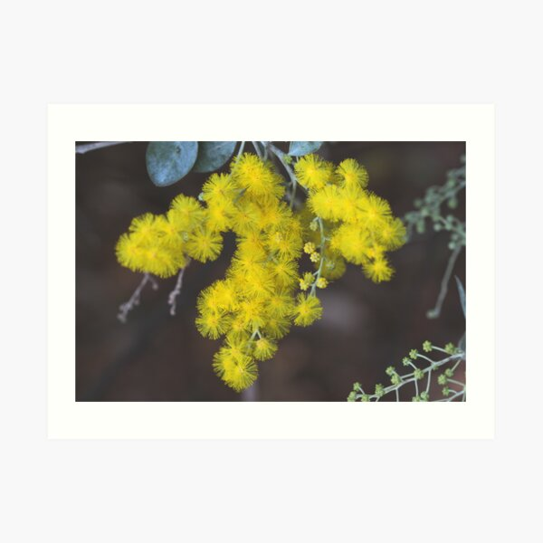 Acacia podalyriifolia Art Print