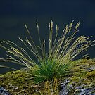 Swedish Grass, lakeside near Stockholm by tamanna