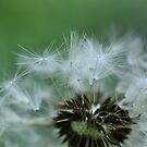 The Dandelion by Corkle