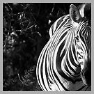 Zebra by Yves Roumazeilles