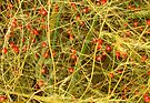 Asparagus Berries by Stephen D. Miller