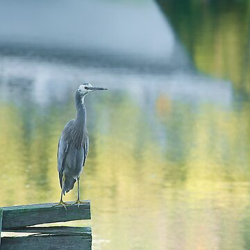 White faced heron with reflections by baji