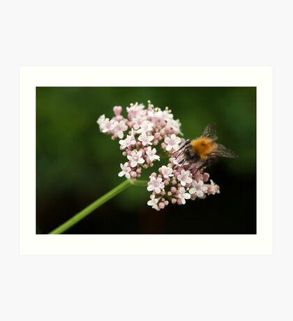 Honey bee on valerian flower Art Print