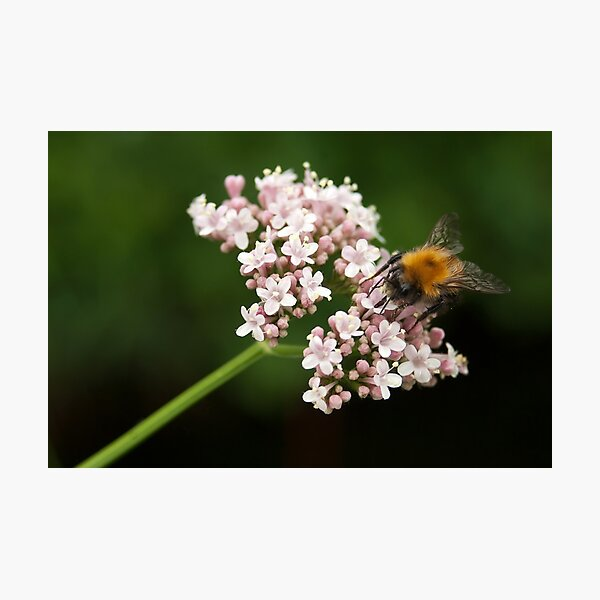 Honey bee on valerian flower Photographic Print