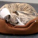 Cute Whippet! by copperhead